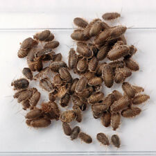 Dubia Roaches 100 Small 1/4 to 3/8 inch Free Shipping & Heat Pack