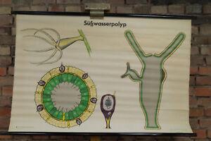 60er Blackboard Wall Chart Freshwater Polyp School Map Schulwandtafel 70er 35