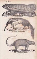 Ameisenbär Große Kleine Myrmecophaga Gürtelmull LITHOGRAPHIE von 1831 Brüggemann