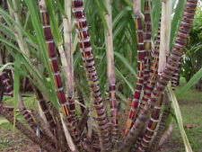 50 graines de CANNE A SUCRE GEANTE (Saccharum Officinarum) SUGAR CANE SEEDS