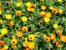 Calendula Wintersun - Appx 100 seeds - Annuals & Biennials