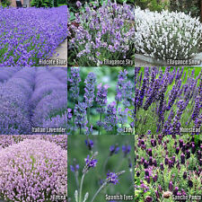 (10 Types) Lavender Flower Herb SEEDS - Hidcote, Sky, Snow, Lady, Vera, Rosea...