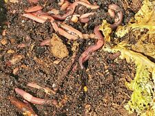 Super Red European Nightcrawlers   250 Guaranteed Live   For Compost & Fishing