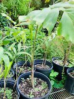 (1) Foxtail Palm/Wodyetia bifurcata