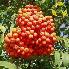 KOREAN MOUNTAIN ASH Sorbus Alnifolia - 30+ SEEDS