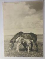 Pferde, Weide, 1945, Fotokunst Groh, München, Aufn. Kühn  ♥ (32828)