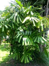 *Uncle Chan* 30 seed Windmill Palm Tree Shrub Broadleaf Lady Rhapis Excelsa