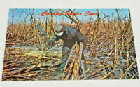 Postcard Real Photo Cutting Sugar Cane by Hand The South Bay, Clewiston,Florida