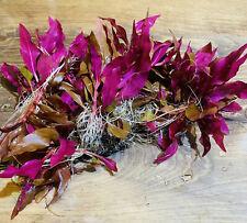 ( Alternanthera Reineckii ) Cardinalis Roseafolia Red Aquarium Live Plants Rare