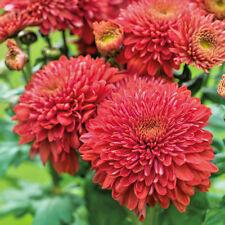 Chrysanthemum Gompie Red plug plants x 5 {good for cut flowers}
