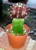 "Gymnocalycium Mihanovichii ""Purple Moon Cactus"" Grafted Shipped in pot! UNIQUE!"