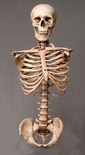 Harvey Skeleton Aged Torso Halloween 2nd class Life-Size, w/ Skull, NEW