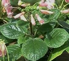 Sinningia Eumorpha - 50 Seeds - Brazil Caudex Semi Succulent