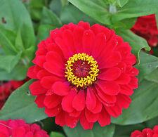 150 graines de ZINNIA ROUGE(Zinnia Elegans CHERRY QUEEN)X145 RED ZINNIA SEEDS
