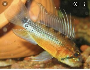 1 Pair Apistogramma Atahualpa (sunset) WC Live Tropical Fish Dwarf Cichlid