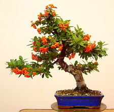 Pyracantha Coccinea rare SCARLET FIRETHORN bonsai berry bush shrub seed 15 SEEDS