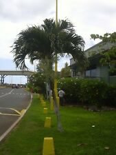 Adonidia merrillii - The Christmas Palm - 10 Large Seeds