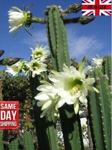San Pedro cactus. 20 fresh seeds. Same day dispatch