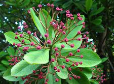 EUPHORBIA GRANTII - Fast grower. Small Ornamental tree. Unusual SYNADENIUM