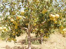 20 seeds Golden  APPLE TREE Malus Native Domestica Fruit Flower Seeds, NON GMO