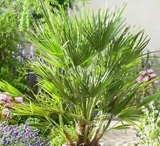 1 x 100-110cm inc pot Chamaerops Humilis Vulcano Palm Tree Premium Quality