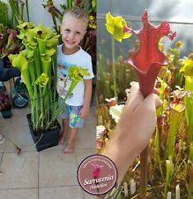 141) Pack of Sarracenia seeds 2020/2021, carnivorous plants rare