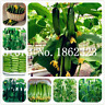 100 Pcs Seeds Mini Cucumber Bonsai Delicious Fruit Vegetable Plants Garden NEW Z