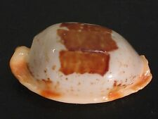 Collector Fave...CYPRAEA STOLIDA~29mm/Gem~Japan SEASHELL