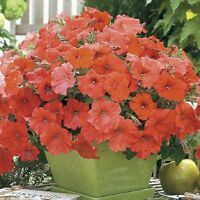 AFRICAN SUNSET ~ Beautiful ORANGE  PETUNIA Seeds ~ NEW - AAS Winner!