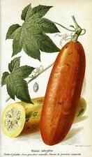 10 Seeds - Sicana odorifera (cassabanana or casbanan, sikana, musk cucumber)