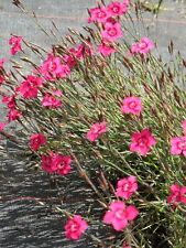 Heidenelke Dianthus /'Leuchtfunk/' Rot Bodendecker Staude Überhängend Sonnig