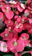 Christusdorn (Euphorbia milii)  rot