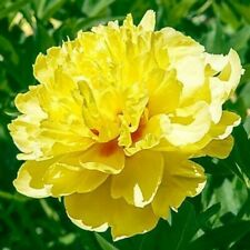 Peony Itoh Bartzella Bare Roots Perennial Flower Stunning Rare Hardy Gift Garden