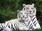 Nature Animal White Bengal Tigers Big Cat Pair Beautiful Canvas Art Print