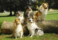 Shetland Sheepdog/Sheltie A6 Blank Card No13 Starprint