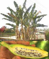 Sensationell: eigene Bananen im Garten ernten. Wächst schnell: die Faserbanane !