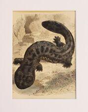 SALAMANDRA Giapponese Stampa-Antico Vittoriano stampa montata a mano colorato