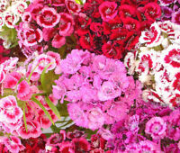 SWEET WILLIAM Dianthus Barbatus - 500 Seeds