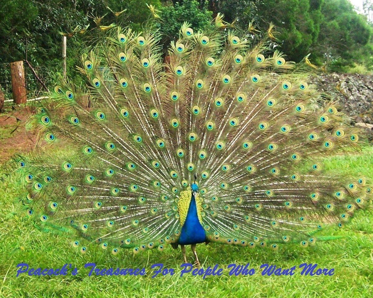 peacockstreasures11