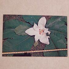Vintage Postcard Natural Bridge, Alabama, The Wild Magnolia