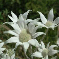 NSW Flannel Flower Seed (Actinotus helianthii) Annual, Poor Sandy Soils Reseeds