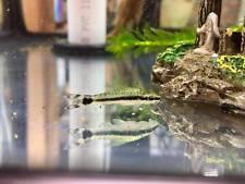 Otocinclus Catfish - Amazing Algae Eater, Live Peaceful Freshwater Fish, Oto Cat