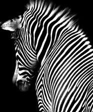 SUPERB ABSTRACT ZEBRA CANVAS WILDLIFE #9 QUALITY ZEBRA PICTURE A1 SIZE WALL ART