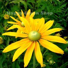 RUDBECKIA - GREEN EYES - 300 seeds - Annual flower - Coneflower - Irish eyes