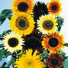 2g (approx. 100) ornamental sunflower seeds HELIANTHUS ANNUUS bright warm colors