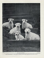 SEALYHAM TERRIER DOGS FROM THE GUNSIDE KENNELS SAT ON STEPS OLD 1934 DOG PRINT