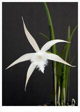 New listing B David Sanders (cucullata x digbyan) orchid plant (174)