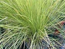 TALL SEDGE GRASS SEEDS CAREX APPRESSA COMPACT ORNAMENTAL GRASS 200 SEED PACK