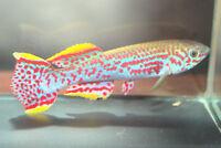 Fundulopanchax nigerianum gardneri (Killifish) 30+eggs