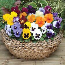 Romeo and Juliet  Viola (Violet)  Wittrockiana Mix Flower Seeds